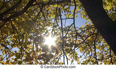 autumn aspen leaves background with sunlight and wind motion