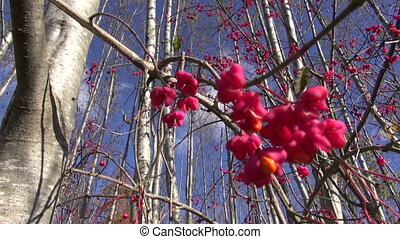 beautiful bush European spindle Euonymus europaeus red...