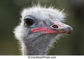 Ostrich Portrait - Comical look of an ostrich flightless...