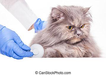 gato, inspección, veterinario, clínica