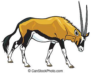 gemsbok - gemsbok, oryx gazella,side view image isolated on...