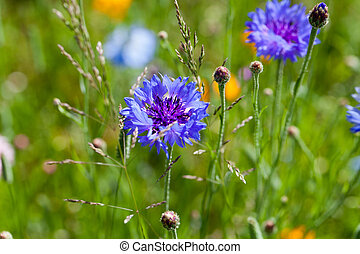 Cornflower flowers on meadow