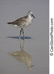 Sandpiper on the Beach - Sandpiper looking for food on the...