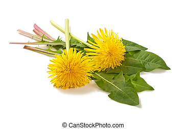 dandelion with flowers isolated on white background