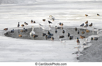 Birds in winter Swans, gulls, ducks swim in a partly frozen...