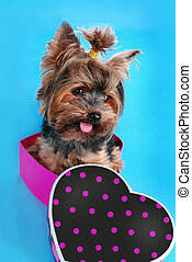 sweet yorkshire dog sitting in heart shaped box - sweet...