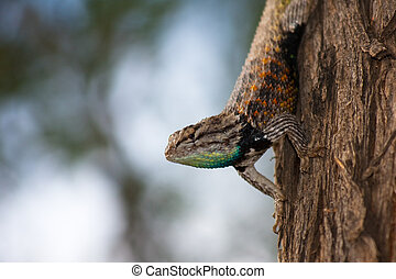 Colorful Desert Spiny lizard - A colorful Desert Spiny...