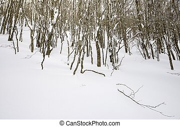 Pyrenees - winter forest, valley of Aspe, Pyrenees, France