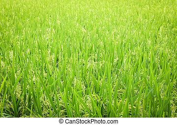 arroz, campo, seamless, patrón