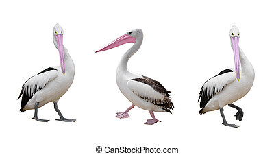 pelicans set  over white surface