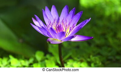 Water Lily Flower