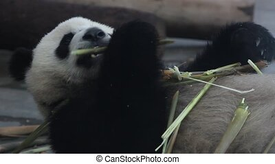 Pandas eat bamboo. - The lovely giant pandas eat bamboo...
