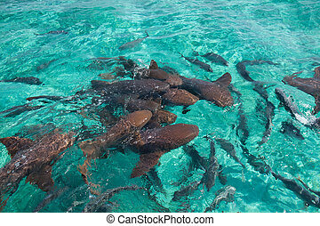 Nurse shark - A group of nurse shark