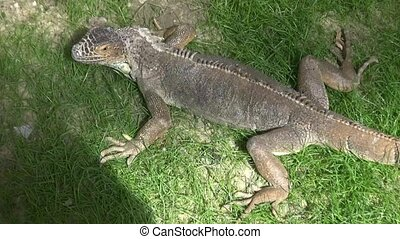 Wild iguana in the reserve - Wild iguana in the Crimean...