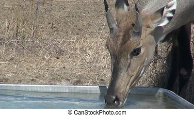 Bambi deer and wild antelope in the - Wild deer (Bambi) and...