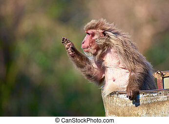 Japanese macaque Macaca fuscata in old tin bucket