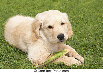 Small golden retriever puppy - Small obedient golden...