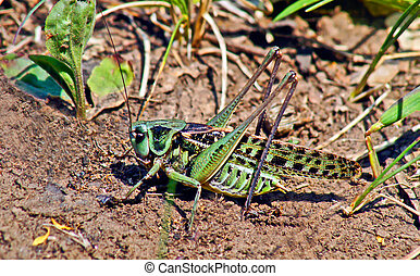 Locusts in the grass on a meadow - Locusts in the grass on a...