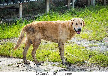 Mixed breed dog - Close up Thai mixed breed dog in...