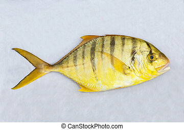 Golden toothless trevally - Close up golden toothless...