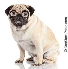 pug dog with human eyes isolated on a white background