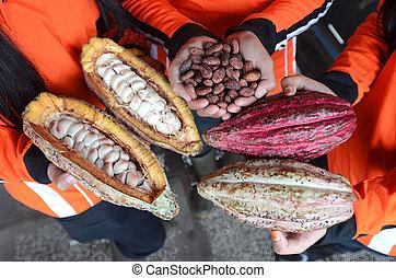 cacao - Glanmore cacao plantation, Banyuwangi, Indonesia