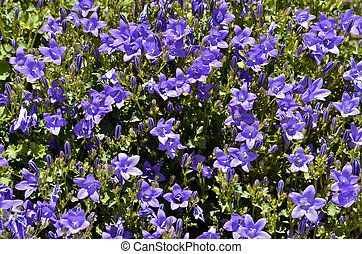 Campanula flowers - Closeup of Campanula muralis or...