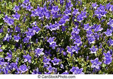 Campanula flowers - Closeup of Campanula muralis or...