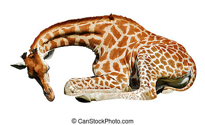 Isolated giraffe lying - Giraffe (Giraffa camelopardalis)...