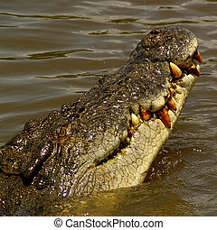 Crocodile Mouth - Crocodile showing mouth and teeth out of...