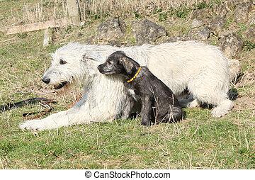 Gorgeous Irish Wolfhound parenting the young one - Irish...