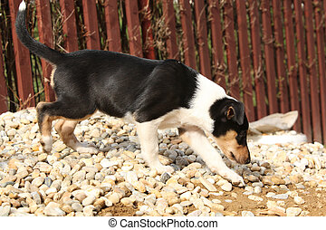 Adorable puppy of Collie Smooth in the garden - Adorable...