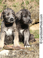 Two puppies of Irish Wolfhound in the garden - Two puppies...