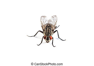 Fly isolated on white Macro shot of a housefly, - Macro shot...