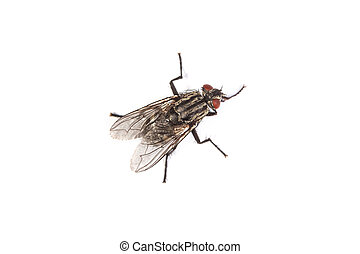 Fly isolated on white. Macro shot of a housefly, - Macro...