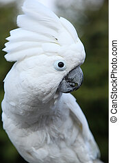 Sulphur-crested Cockatoo Parrot in the garden