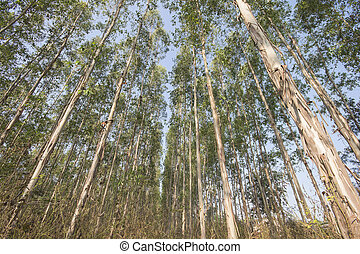 Eucalyptus tree - Very high of Eucalyptus tree in the...
