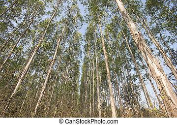 Eucalyptus tree - Very high of Eucalyptus tree in the...