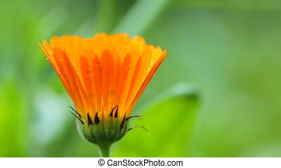 flower of calendula - Orange flower of calendula