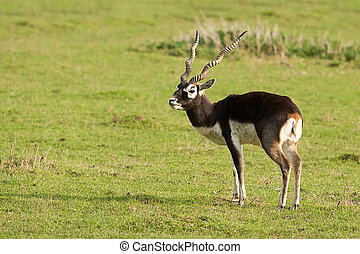 Black Buck - Male Black Buck standing in sunshine