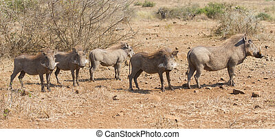 Pano image of warthog family standing in dry bush looking