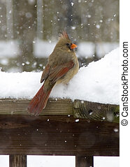 Female Cardinal in Snow - A female cardinal awaits her turn...