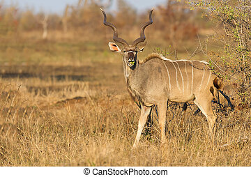 Large kudu bull with beautiful horns eating leaves from a thorn tree in morning sun