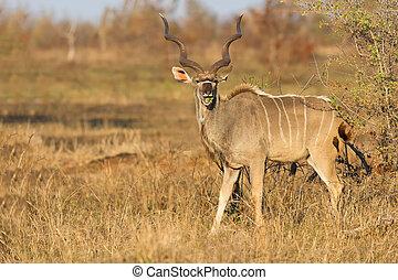 grande, Kudu, toro, hermoso, cuernos, comida, hojas, espina