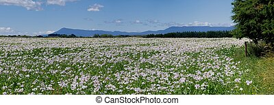 tasmanian poppies - tasmanian poppy fields with hills in the...