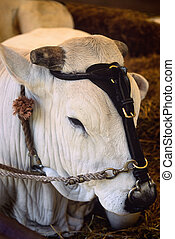 Chianina cow's head with harness - Closeup Cow's head with...