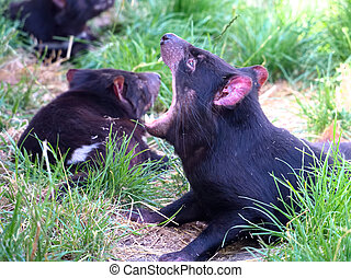 time to brush my teeth - tasmanian devil showing its vicious...