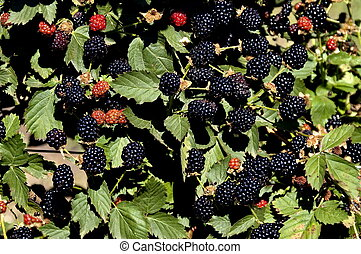 Blackberry bush with fruits - Blackberry bush in Swellendam...