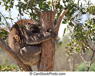 cuddly koala - tasmaina sleeping koala in a gum tree during...
