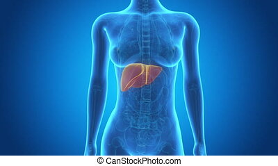 Visible large liver - Medical 3d animation of a female with...